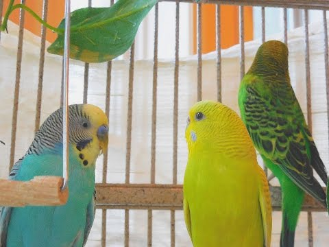 4 Hours Budgies Parakeets Singing, Chirping, Reduce stress