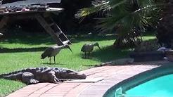 Crazy Hadedas around Zania the iguana