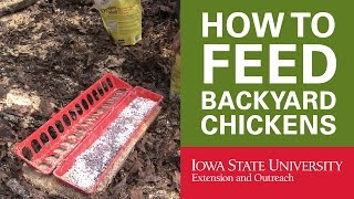 Backyard Chickens: How To Feed Your Chickens
