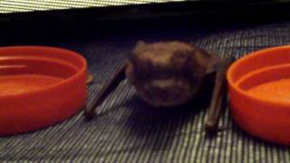 Pinkie Pie the Big Brown Bat (E. fuscus) eats mealworms from a bowl