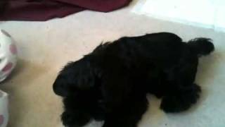 Kitty The Black Shih Tzu Puppy's First Tricks At 10 Weeks