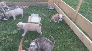 Продам замечательных щенков американского стаффордширского терьера!!!