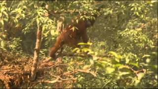 Queen, Female orangutan with infant Qilla October 26th 2015