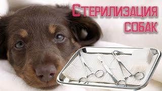 Стерилизация собак плюсы и минусы(Стерилизация собак http://youtu.be/QBCerQvRy0U убережет животное от многих болезней. Стерилизация собак – процесс,..., 2015-07-23T01:33:31.000Z)