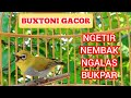 Pleci Buxtoni Jantan Bongkar Isian Kicau Pidong  Mp3 - Mp4 Download