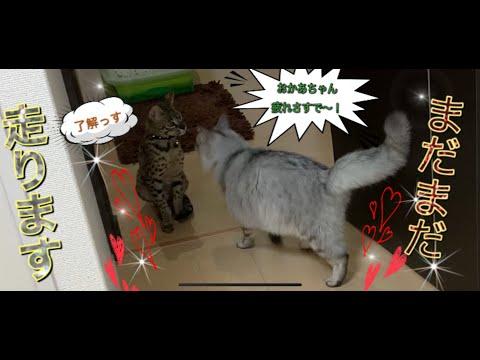 猫ってそんなに走るの? サバンナの鞍馬は分かるけどラグノルの狸吉もか!? from YouTube · Duration:  4 minutes 20 seconds