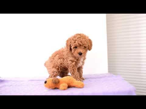 Barb Miller's Mini Poodle