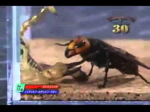 eşşek Arısı ile akrep kavgası  : Böcek Dövüşleri