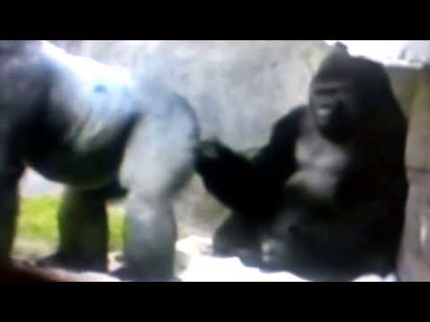 Gorilla sticks finger up bum then sniffs it!