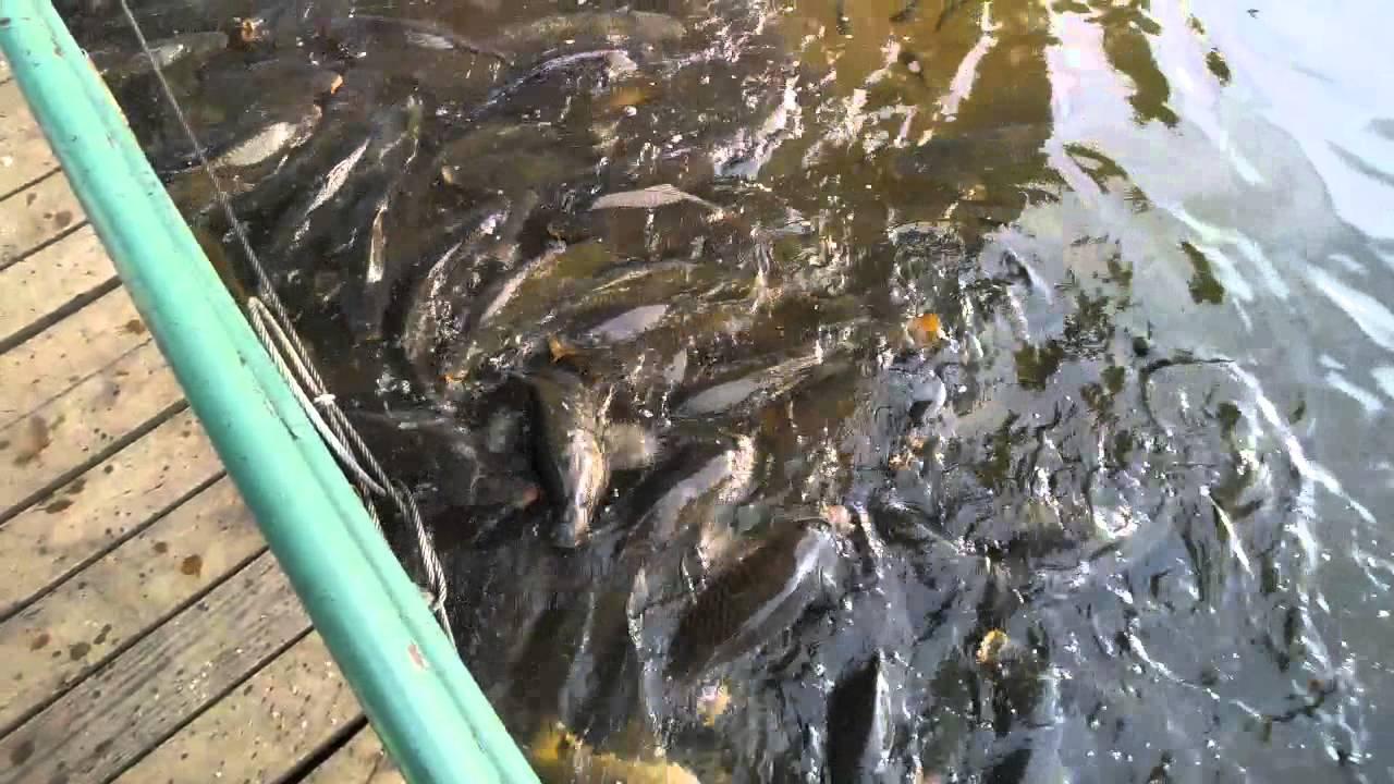 carp lake latino personals Bighead carp (hypophthalmichthys nobilis mckinley park lake, flatfoot lake) closer to lake michigan in 2008, a bighead carp was found in lincoln park.
