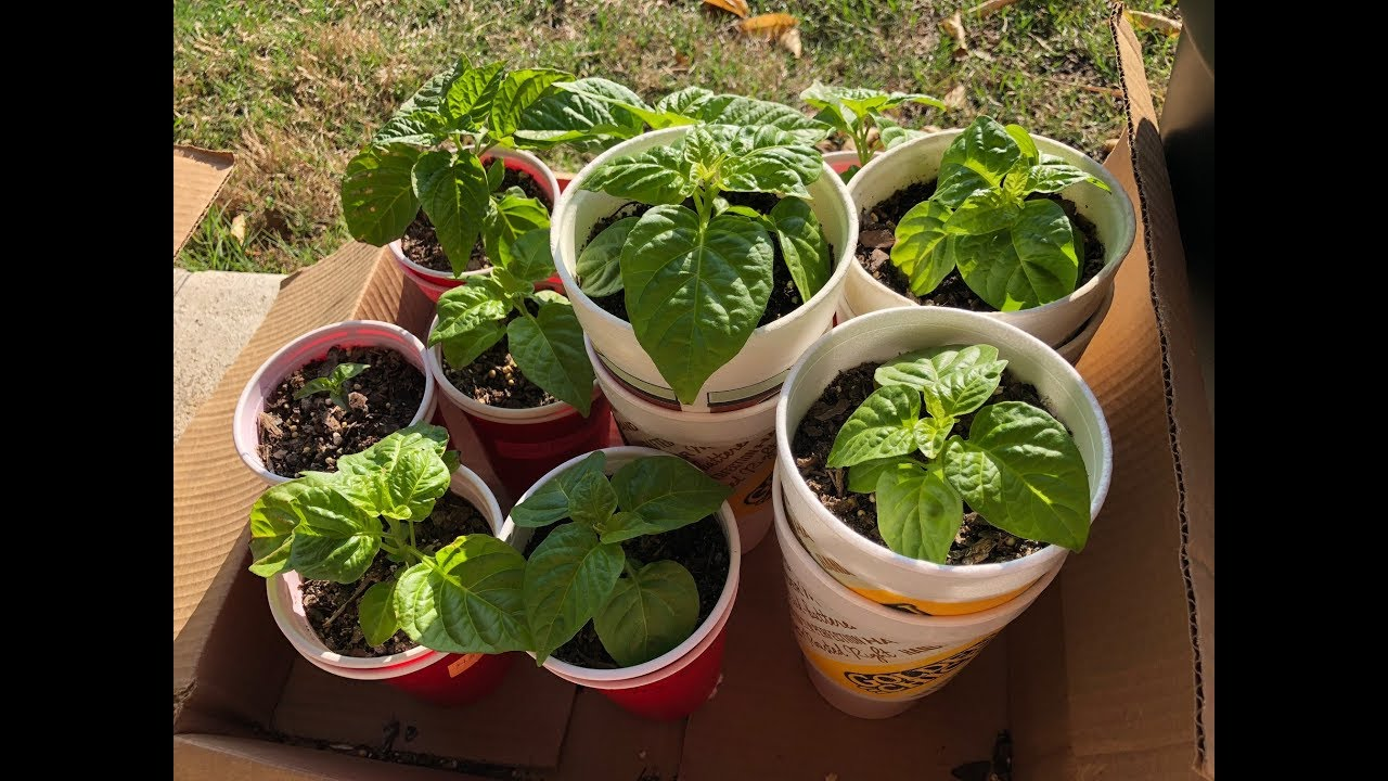 Planting peppers for seedlings in 2018: how and when to plant peppers for seedlings 45