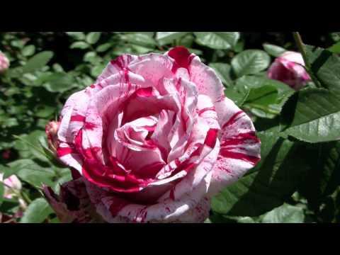 Chicago Botanic Gardens Rose Garden
