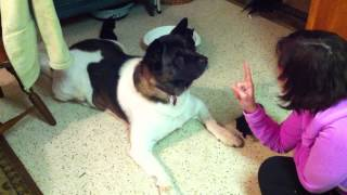 Training Our Akita (dog) Not To Eat Kittens