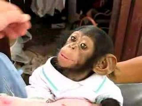 Baby Chimpanzee Printable Art  The Crown Prints