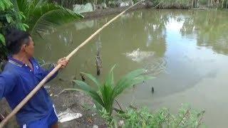 về quê câu cá giật đả tay /fishing