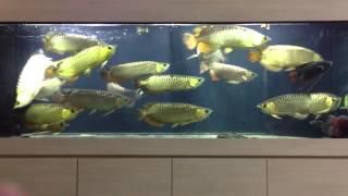 Arowana feeding clip