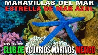 cammx maravillas del mar ep 4 estrella de mar azul