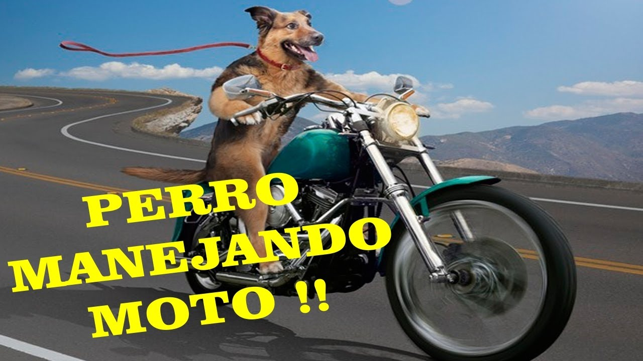 perro manejando moto videos chistosos en hd youtube. Black Bedroom Furniture Sets. Home Design Ideas