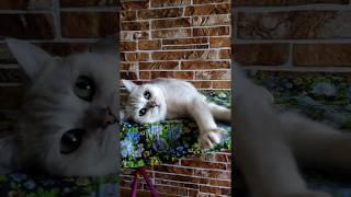 Серебристая британская шиншилла кошка продажа