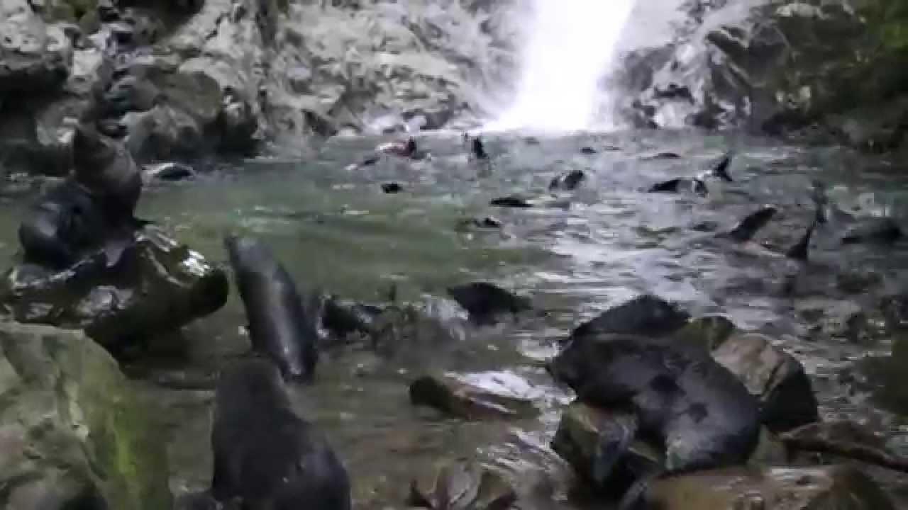 New Zealand Fur Seal Arctocephalus Forsteri Ohau Waterfall Kaikoura