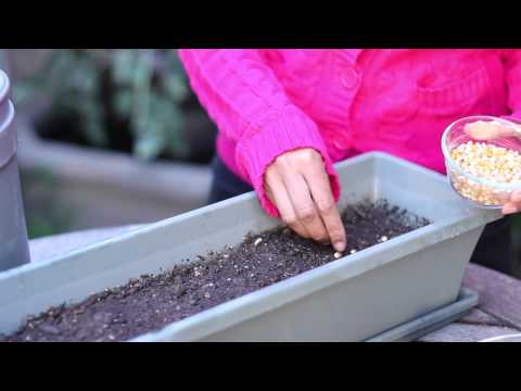 How to Germinate Popcorn Seeds : Planting the Seed