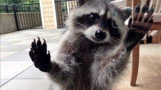 cute raccoon betty