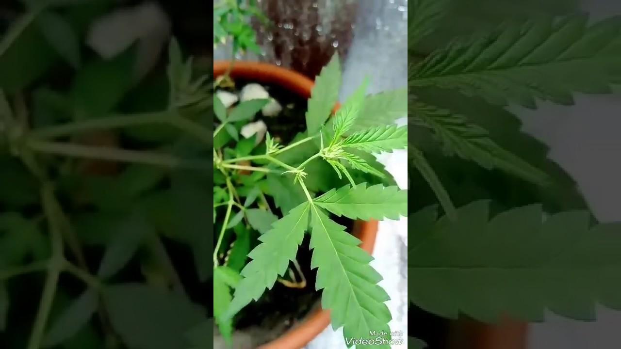 Кончики листьев марихуаны сохнут определение растения конопля