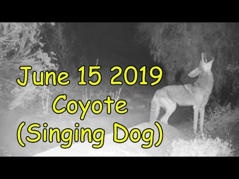 6-15-2019 Coyote (Singing Dog)