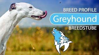 Greyhound Breed, Temperament & Training