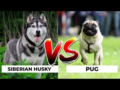 Siberian Husky Vs Pug in Hindi | Dog VS Dog | PET INFO | Which  Best For You as Pet?