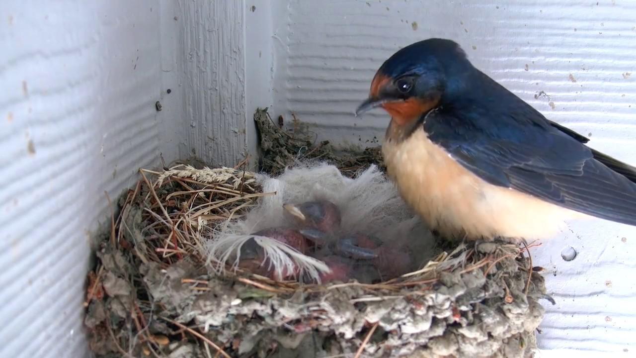Baby Barn Swallows - Day 2 - YouTube