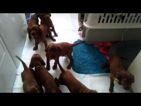 Herding a litter of 10 Irish Setter puppies