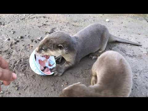 Cute Baby Otters Eat Fish At The Riverside
