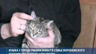 Хозяин пятиухой кошки ищет ей достойного жениха