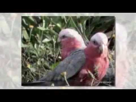 Australian Pink Galah Cockatoos and Helmeted Friarbirds