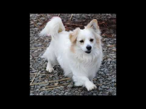Vann The Handsome Pomeraniancorgi Mix Love To Live Animal Rescue