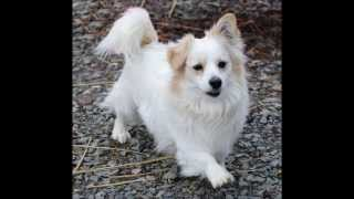 Vann The Handsome Pomeranian/corgi Mix Love To Live Animal Rescue Mar. 1, 2013