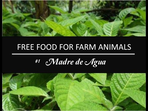 FORAGE PLANT SERIES |  Free Food for Livestocks | Madre de Agua