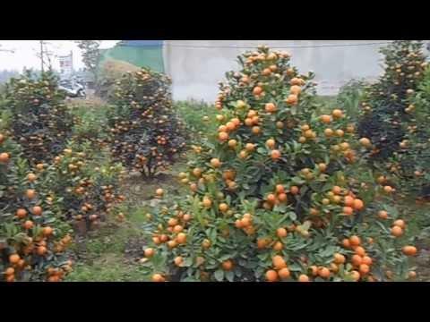 Xem quất tết tại Nam Phong - Nam Định