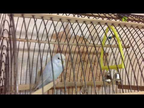 Как научить говорить волнистого попугая? / Мой опыт / Обучение🌝