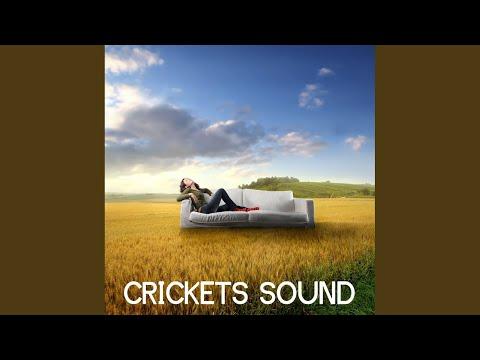 Evening Cricket Chorus