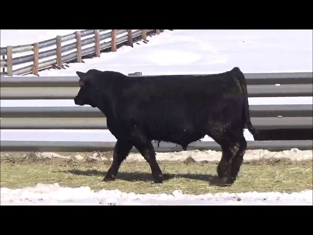 Connealy Angus Lot 407