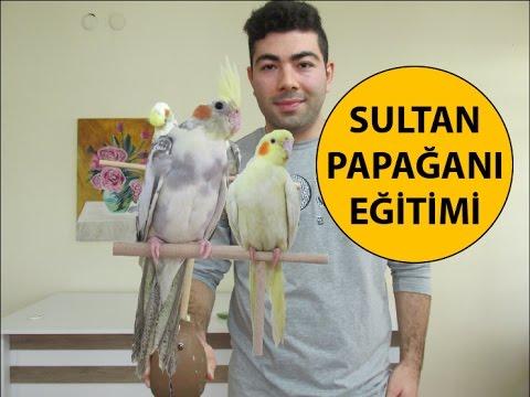 Sultan Papağanı Eğitimi 1. Bölüm