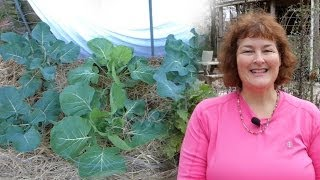 Growing Vegetables in Winter: Brussel Sprouts & Broccoli