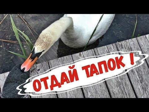 Лебедь троллит человека