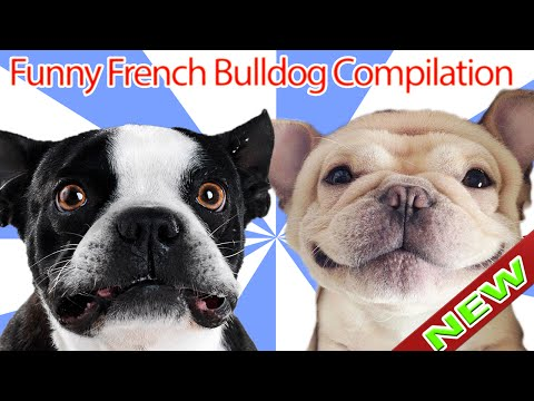 Funny French Bulldog Compilation 2017 || Funniest Video Of French Bulldog