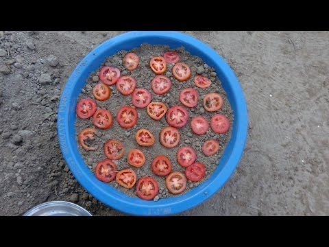 how to grow tomatoes from seeds from fresh tomatoes step1