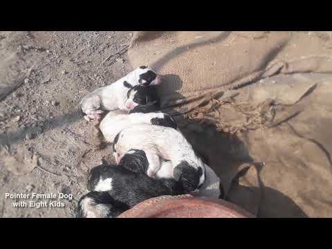Pointer Female Dog with Eight Kids || English Pointer Dog in Pakistan || Best Pointer in Pakistan