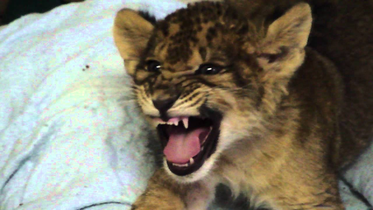 Lion Cub Gives Us His Best Roar - YouTube for Lion Roaring Gif  555kxo