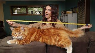 Самые Большие Домашние Кошки на Планете   Удивительные животные   Топ 10